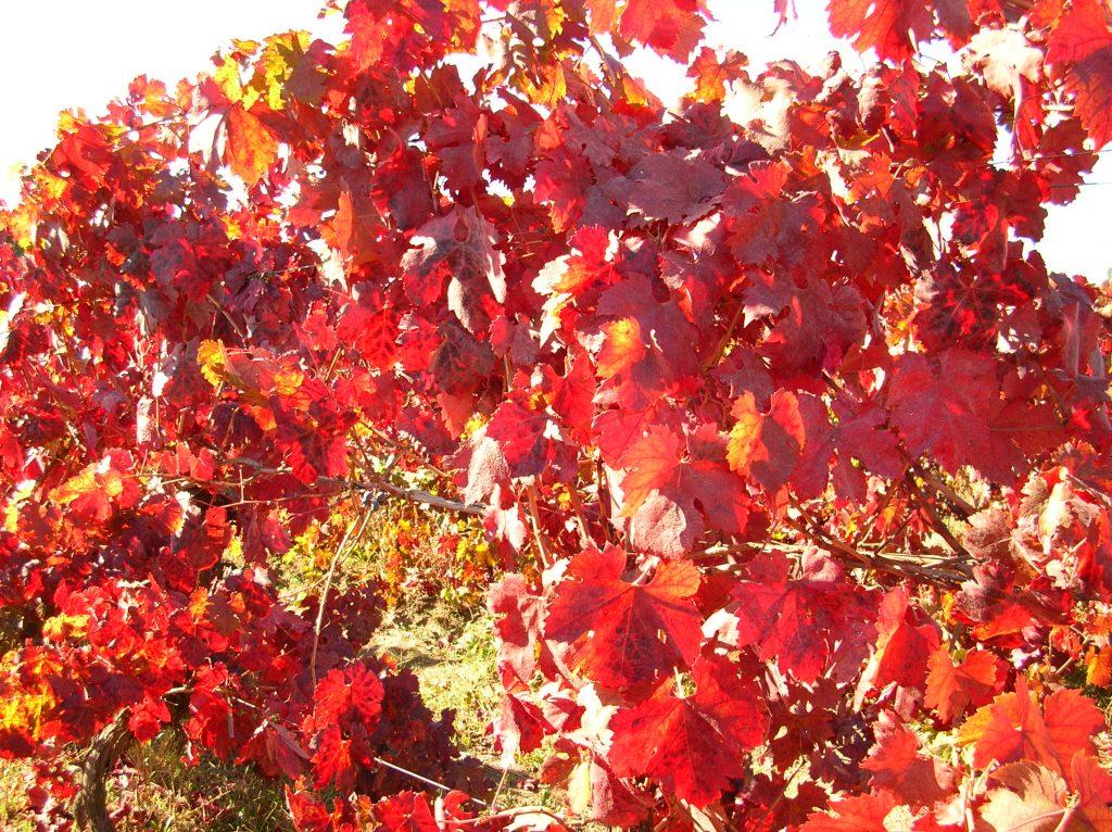 red vine leaf gel nutra trends